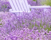 Nature Photography - French Lavender Fields, Purple Chair, Romantic Home Decor