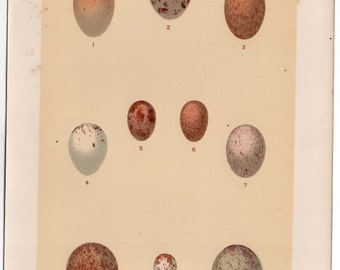 1901 IBIS BIRD EGG lithograph original antique print of  eggs of philippine birds