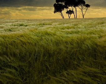 Windy Summer Grain Field with isolated trees in the Evening Sunset - A Fine Art Landscape Photograph