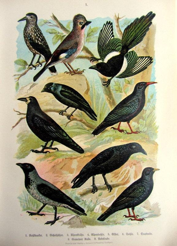 1922 antique diff rentes esp ces de corbeaux par lyranebulaprints - Differentes especes de pins ...
