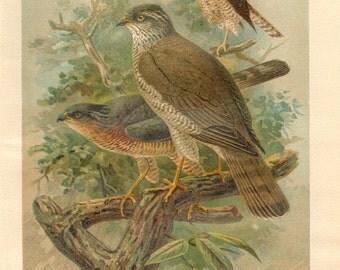 1903 Original Antique Lithograph of the Eurasian Sparrowhawk