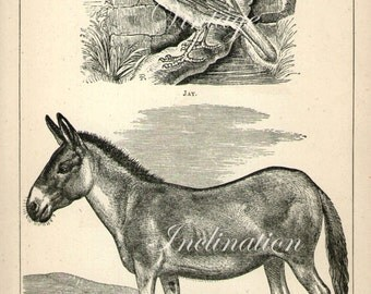 Antique Animals Art Print 1871 Wild Horse Kiang Jay, b/w engraving bookplate print