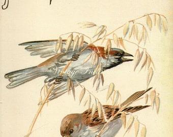 Antique Print, House Sparrows English Birds 122, Edwardian chart beautiful wall art vintage color lithograph illustration 1970 farm fields