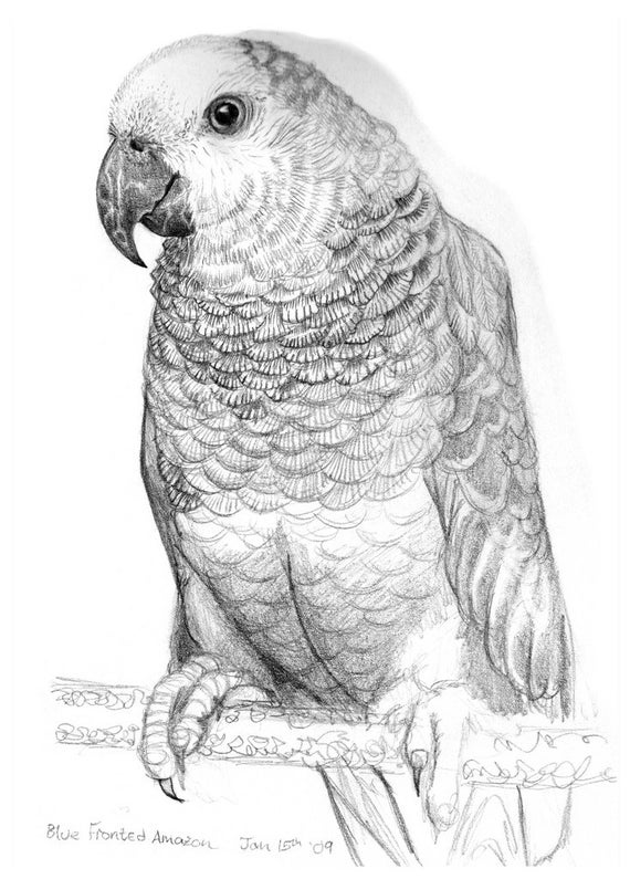 Items Similar To Parrot Drawing Postcard - Pencil Drawing Illustration Of A Parrot On A Printed ...