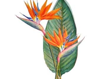 Bird of Paradise Flower Botanical Print Strelitzia reginae Watercolor Art Illustration by Janet Zeh Original Art