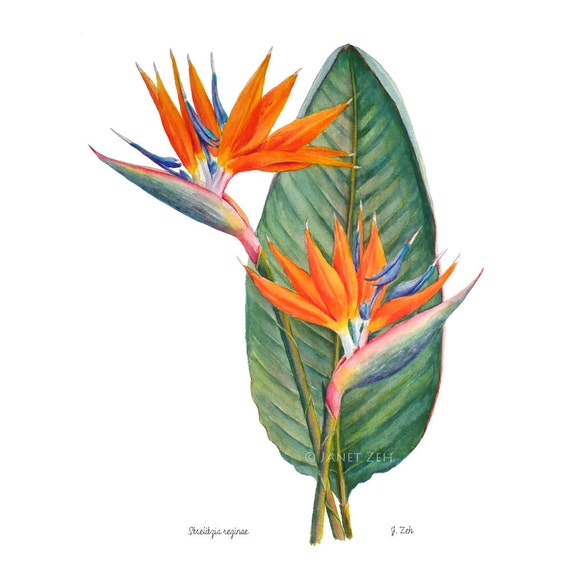 Oiseau de paradis fleur botanique impression strelitzia - Oiseau de paradis plante ...
