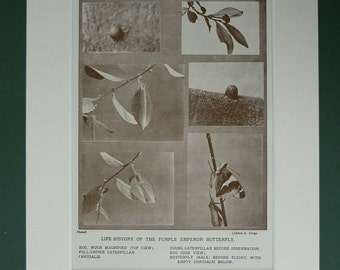 1930 Vintage Print Of The Purple Emperor Butterfly's Life Cycle - Sepia Photograph - Nature - Butterflies - Purple Emeror Butterfly Print
