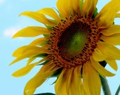 Sunflower Photo, Free Shipping, Flower, Art Print Photograph, Nature Picture, Bright Colorful, Wall Art, Home Decor, Yellow, Blue - SilverBirdBoutique