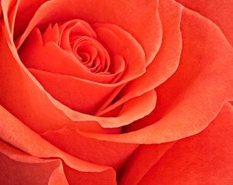 Coral Orange Rose #140216, fine art flower photograph, nature photography wall art print home decor