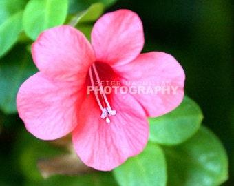 Beautiful Pink Tropical Flower - Hawaiian Garden - Hawaii - Maui