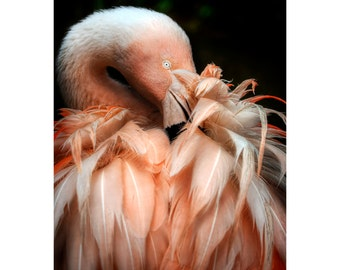 Preening Flamingo Print, Nature Photography, Animal Photo, Pink Bird,  Zoo, African, Fine Art Photography, 5x7, 8x10, 11x14