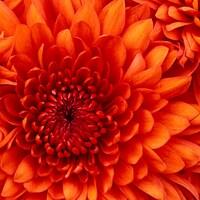 Chrysanthemum11