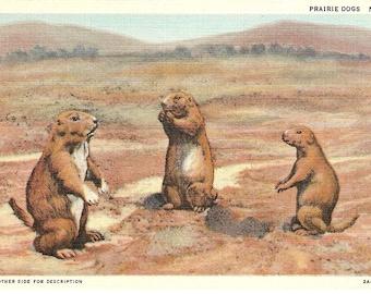 Prairie dogs vintage postcard, American postcard