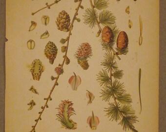 Antique Botanical Print from  1900s LARCH Larix Decidua Chromolithograph colorful aprox. 12 x 9
