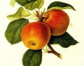 Vintage Fruit Print - Apple Print - Kirke's Golden Reinette Apple - Hookers Finest Fruits - Vintage Kitchen Wall Art - William Hooker - 1800