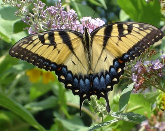 Butterfly photo -Yellow Swallowtail butterfly - 5x7  Garden art - Nature Photography- landscape art photo- MORE SIZES AVAILABLE