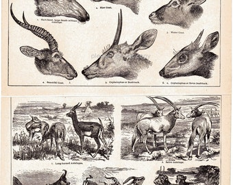 Antelope Goat and Gazelle 1900s Antique Book Prints