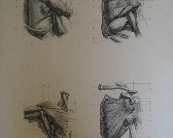 Large 1886 Antique Medical Engraving of the Shoulder Muscles