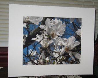 Matted, White, Magnolia, Tree, Blooms, Fine Art, Photograph, Print, 8 x 10, Glossy,OOAK