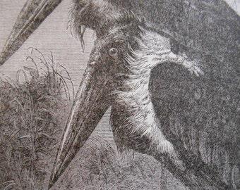 1887 Adjutant Antique engraving, Natural History bird Print, vintage wall art