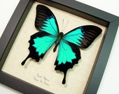 Wedding Gift Real Framed Butterfly Best Seller Over 18 Years Blue Swallowtail Butterfly 204s