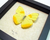 Yellow Orange Phoebis Philea Real Framed Butterfly 350