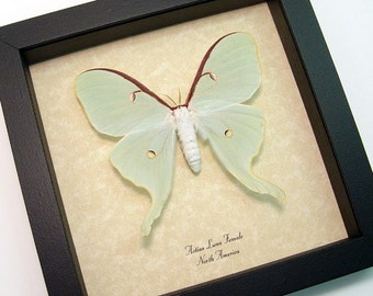 Real Framed Female Green Actias Luna Moth 792A