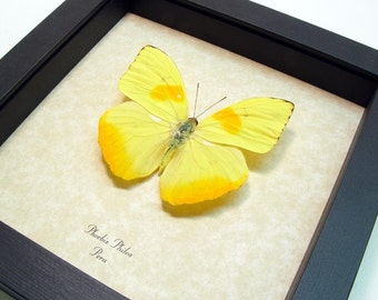 Real Framed Yellow Orange Phoebis Philea Butterfly Shadowbox Display 350