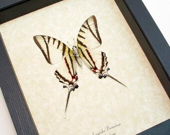 Real Framed Candy Stripe Swallowtail Butterfly Shadowbox Display 248v