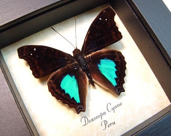 Real Framed Butterfly Metallic Blue Green Doxocopa Cyane Emperor 8158