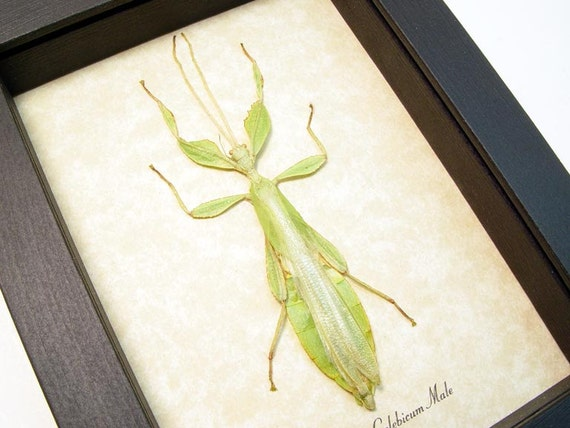 Green Walking Leaf Mimic Male Real Framed Fairy Insect 7980m