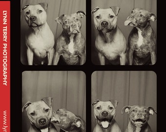 Pit Bulls in Photo Booth #2 - 11x14 Lustre Print
