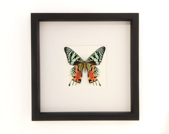 Real Framed Sunset Moth 9x9 Museum Mat Display Chrysiridia rhipheus