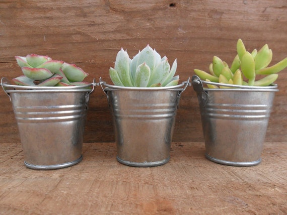 RESERVED For Annie, 20 Succulents, Silver Pails, Wedding Shower Favors, Table Decor, Ship March 17