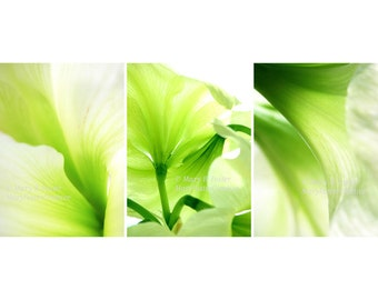 Amaryllis Lime Green Flowers Photographs Set of Three (3) 5x7 Prints abstract macro nature photography floral wall art trio chartreuse white