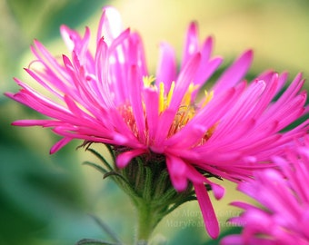 Bright Pink Aster Flower Photography botanical fall nature photo floral wall art home decor hot pink magenta soft green 7x5 10x8 14x11