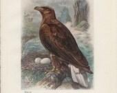 Sea Eagle, White-Tailed, Bird's Nest and Eggs, Antique Bird Print (57) Frameable, Art, 1910, George Rankin Artist, Landsborough Thomson