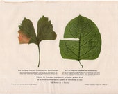 1900 LEAVES original antique botanical flora print