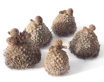 10 Unfinished Large Fringed Fancy Bur Oak Acorn Caps, Mixed Sizes