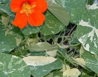 Nasturtium, Alaska  Nasturtium Seeds - Rare Variegated Foliage with Vibrant Flowers
