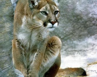 Unframed Mountain Lion Photograph