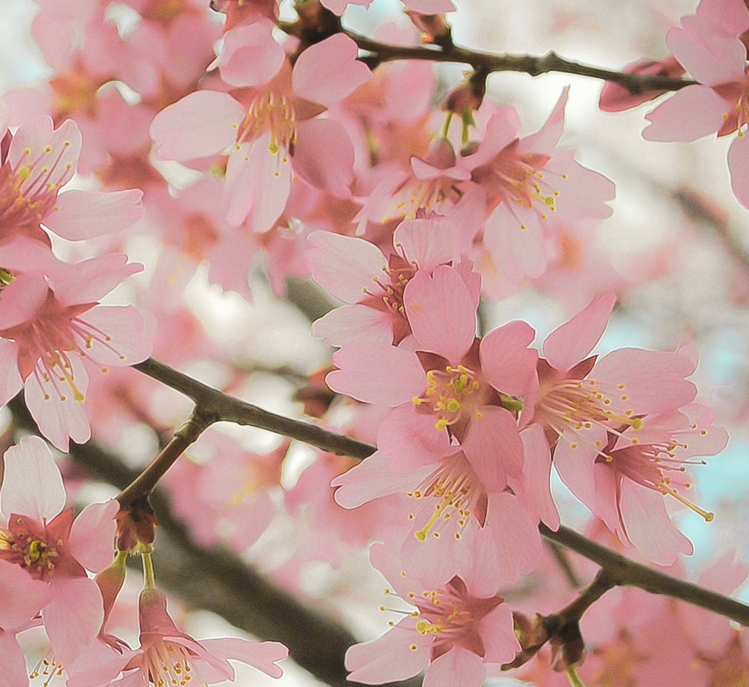 Pink Cherry Blossom Print Flower Photography Floral Wall