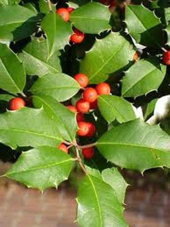 how to grow american holly