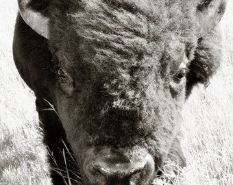 Buffalo Print in Black and White - wildlife wall art
