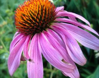 Echinacea Purpurea Water Wise Perennial Native American Flower Heirloom Seeds