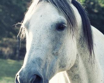 Horse Photography, Horse Art, Gray Horse