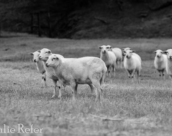 Sheep photography, farm animal photography, black and white farm animal photo