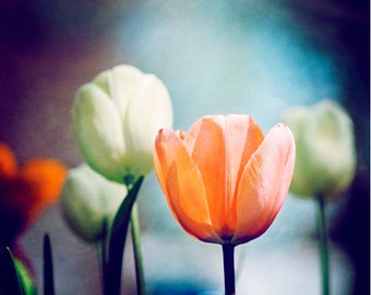 """Flower Photography - navy dark blue orange white tulip nature print coral wall art botanical photo, 11x14, 8x10 Photograph, """"Moment in Time"""""""