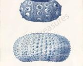 Blue Sea Urchin Art Print - Natural History - Sea Urchins Blue