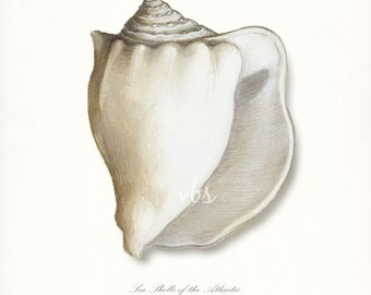 Coastal Decor Sea Shell - Atlantic Whelk No. 2 Giclee Art Print
